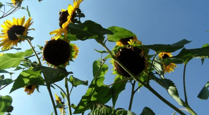 Sonnenblumen am 02.09.2016
