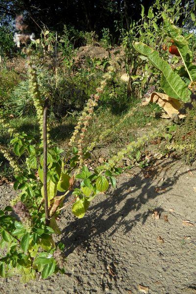 Strauchbasilikum Herbstanfang 2016