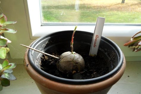 Avocadobaum am 29.10.2016