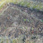 "Feldsalat im Beet ""Bärli"" nach dem Frost am 13.11.2016"