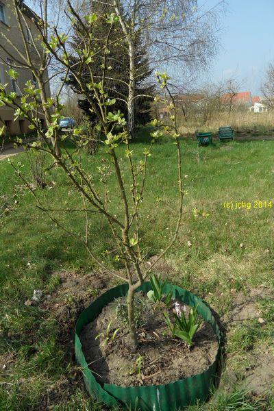Apfelbaum der schon in Dallgow und Falkensee war am 06.04.2014