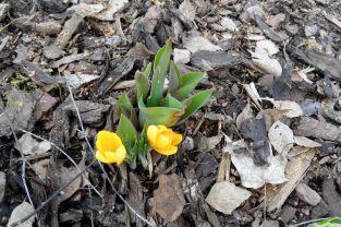 Krokusse und kommende Tulpen (2) am 09.03.2017