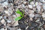 Erste Bärlauch-Pflanze am 20.03.2017