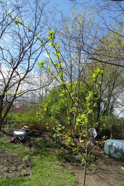 """Der Pflaumenbaum """"Victoria"""" im Beet """"Wälti"""" am 16.04.2017"""