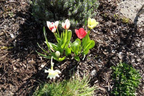 """Tulpen und Narzisse im Beet """"Trapez"""" am 30.04.2017"""