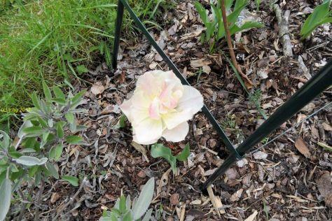 Weiß-Rosa Tulpe am 07.05.2017