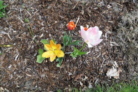 Tulpen am 07.05.2017