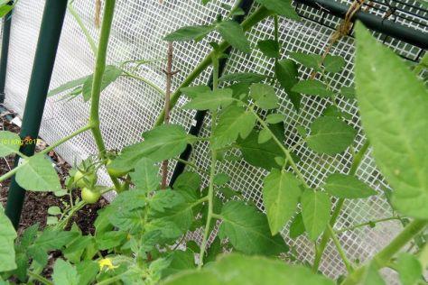 Tomaten im Gewächshaus am 25.06.2017