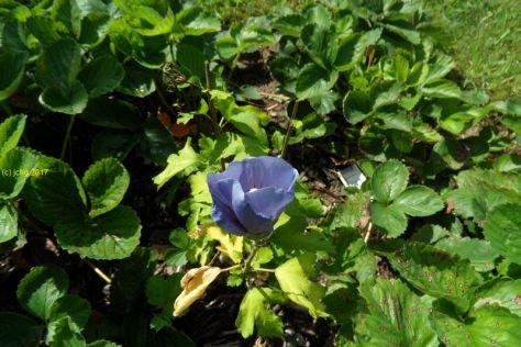 Blaue Hibiscus-Blüte am 20.08.2017