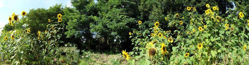 Sonnenblumen am 03.09.2017