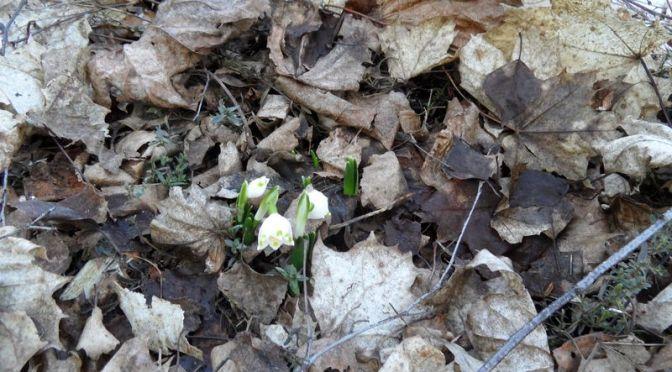 """Märzenbecher im Beet """"Ahorn""""am 11.03.2018"""