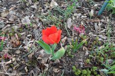 Tulpe am 13.04.2018