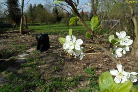 Pflaumenblüten am 17.04.2018