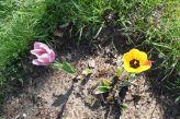 Tulpen am 20.04.2018