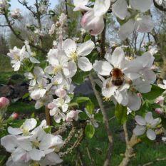 Hummel und Apfelblüte 22.04.2018