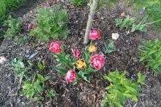 """Tulpen im Beet """"Sauerkirsche"""" 27.04.2018"""