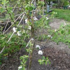 """Blühender Apfelbaum im Beet """"Brombeere"""" 27.04.2018"""