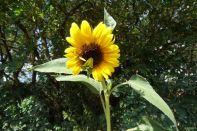 Sonnenblume am 28.07.2018