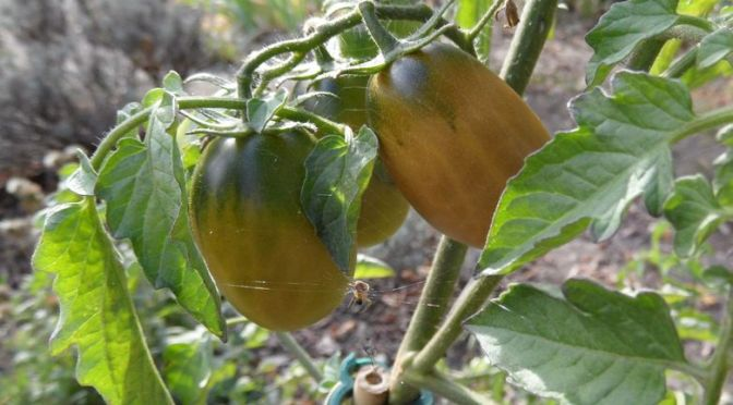 Tomaten Black Plum am 06.10.2018