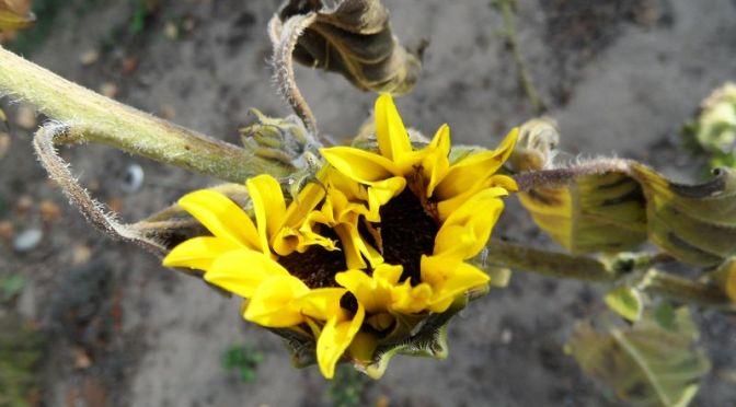 Sonnenblumen blühen im November