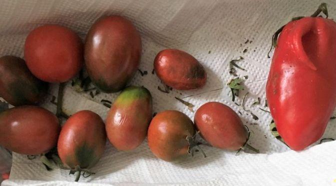 Die letzten Tomaten 2018