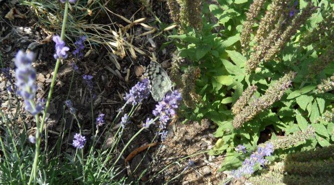Lavendelblüte mit Schachbrettfalter