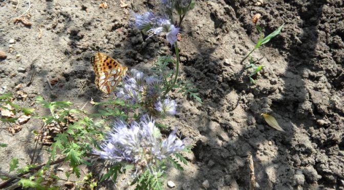 Perlmuttfalter An Phacelia-Blüte