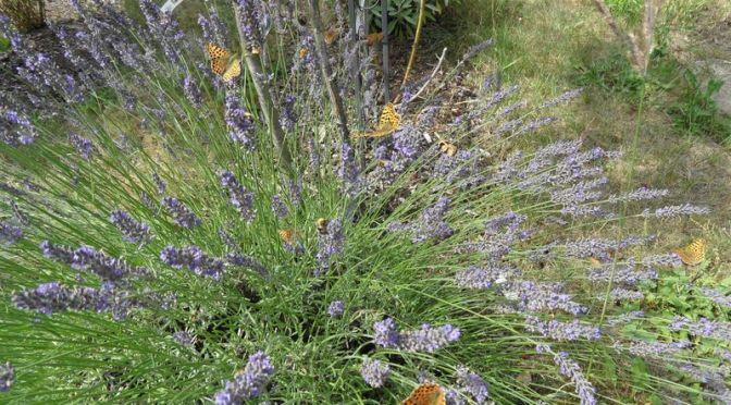 Lavendel und Perlmuttfalter Juli 2019