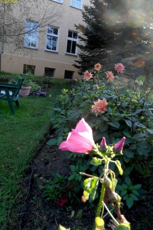 "Dahlien im Beet ""Mohrchen"" 27.9.14"