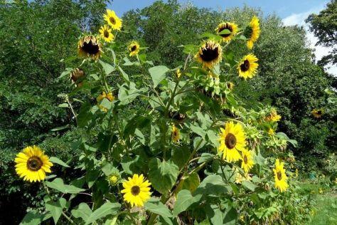 Riesensonnenblumen 37. KW 2015
