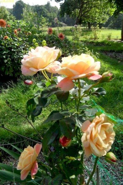 Rosa Rosenblüten 37. KW 2015