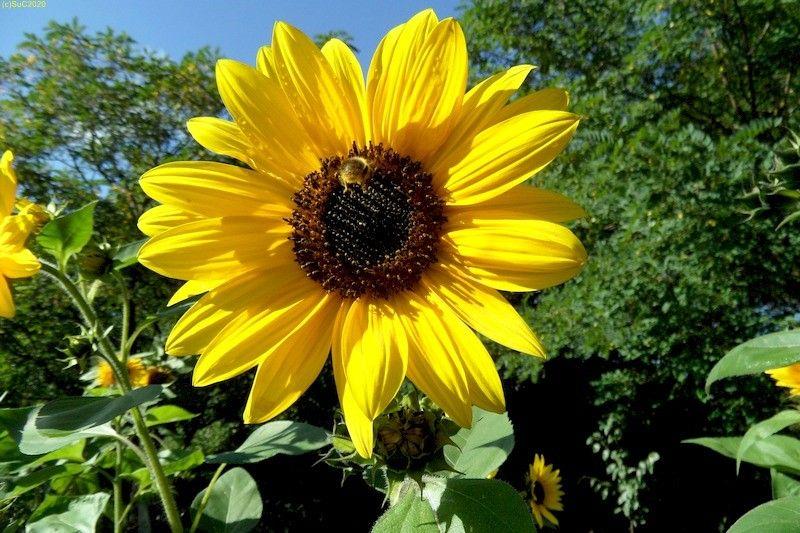 Sonnenblumen September 2015 Diashow 11