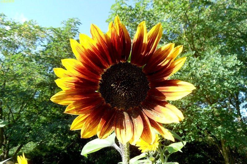 Sonnenblumen September 2015 Diashow 10