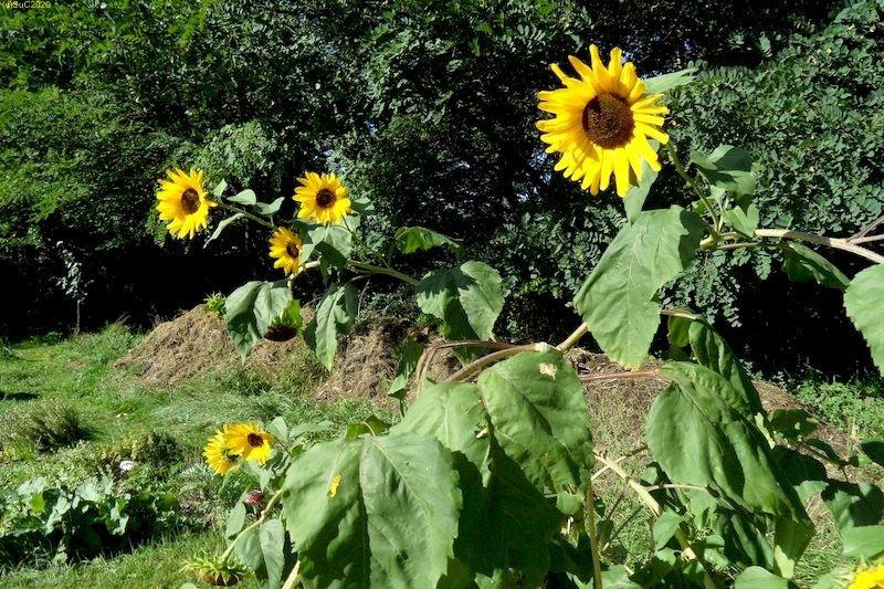 Sonnenblumen September 2015 Diashow 6