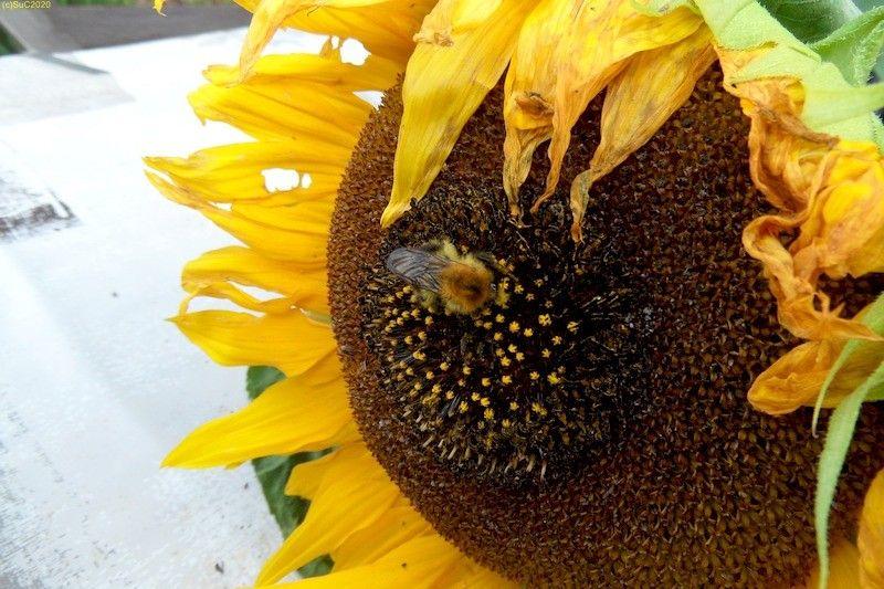 Hummel an Sonnenblumenblüte Bild 5 Spätsommer September 2017