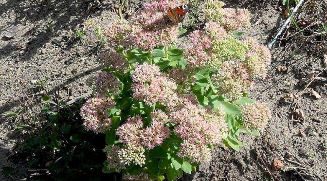 Schmetterlinge am zweiten Dienstag im September