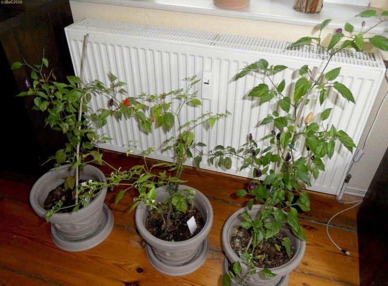 Chilis (Inca Surprise eingerahmt von den beiden Chinese 5 Color) im Winterquartier im Wohnzimmer 17.9.20