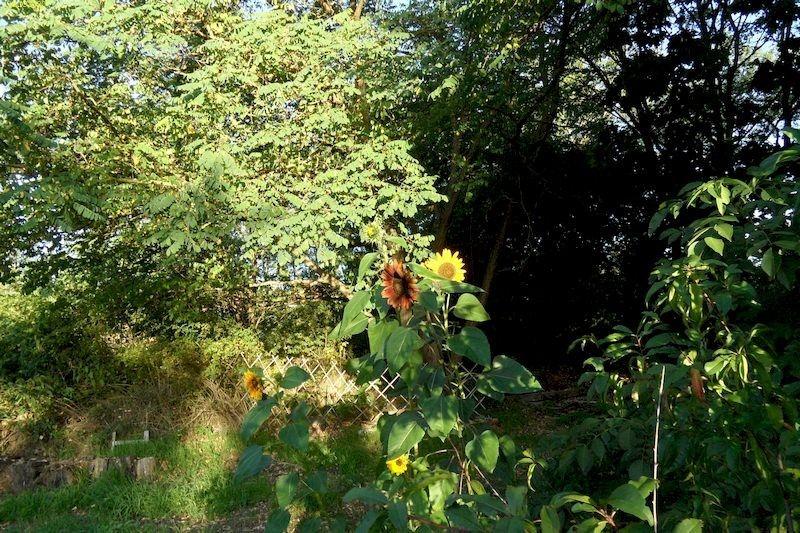 """Sonnenblumen mit verschiedenfarbigen Blüten Beet """"Jostabeere"""" 18.9.20"""