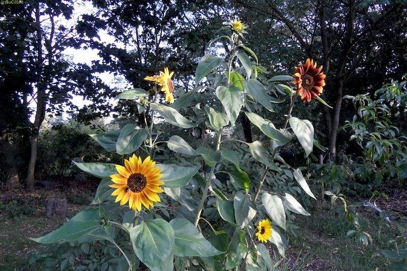 """Sonnenblumen in Farbvarianten Beet """"Jostabeere"""" 19.9.20"""