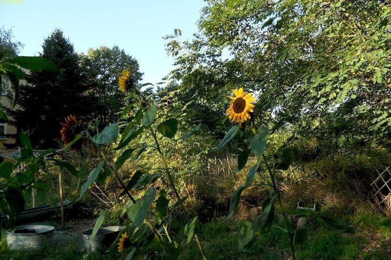 Bunte Sonnenblumen zum Sommerabschied 21.9.20