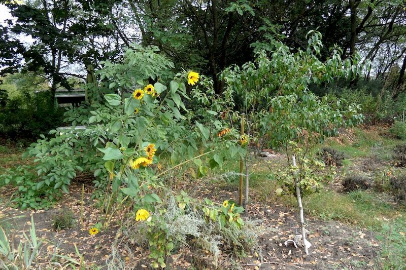 """Sonnenblumen und Aprikose im Beet """"Jostabeere"""", Walnussbaum """"Erwin"""" im Beet """"Erwin"""" Ende September 20"""