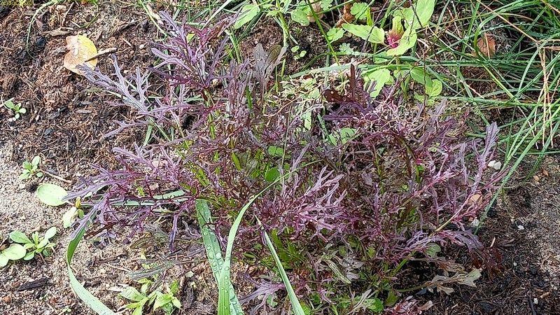 """Asia Salat Moutarde Rouge Beet """"Erdbeere """" 10.10.20"""