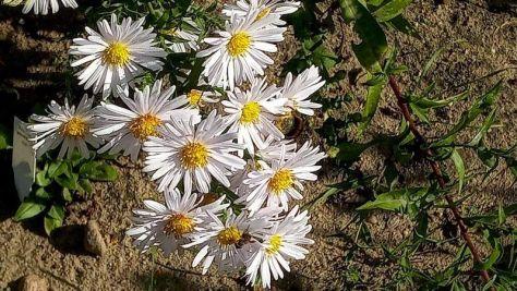 "Chrysanthemen Beet ""Mangold"" Oktober 2020"