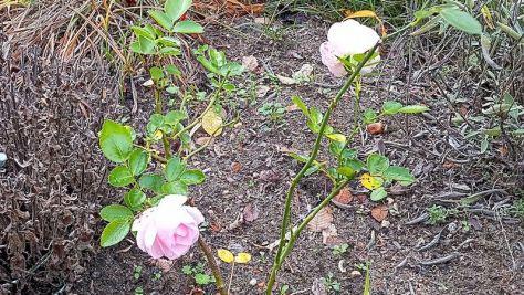 """Die Rose blüht Beet """"Trapez"""" Oktober 2020"""