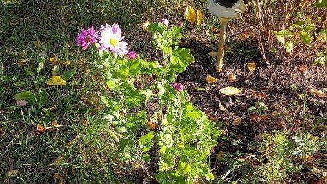 "Chrysanttheme Beet ""Lavendel"" Oktober 2020"