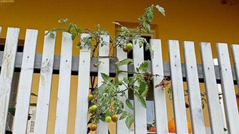 Tomaten auf der Terrasse Oktober 2020