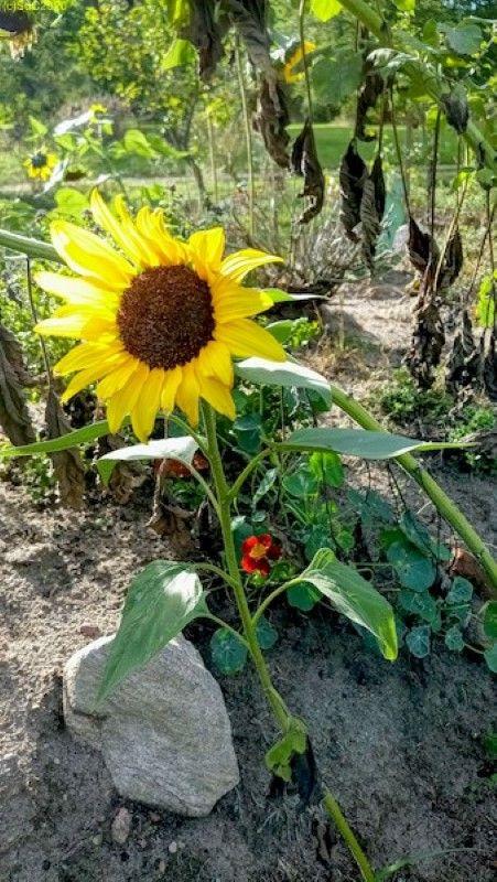 """Sonnenblume, Kapuzinerkresse im Beet """"Amor"""" 4.10.20"""