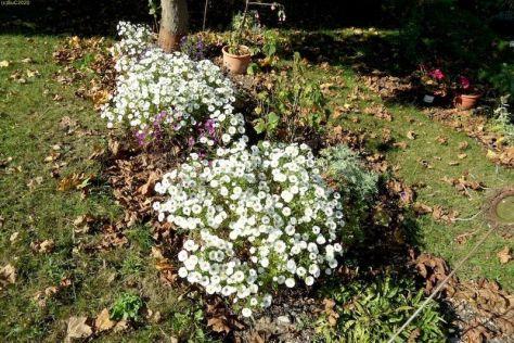 """Blütenzauber im Beet """"Ahorn"""" 29.9.2017"""