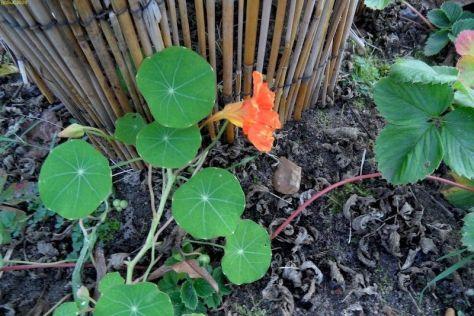Orange Kapuzinerkresseblüte 44. Kalenderwoche 2014