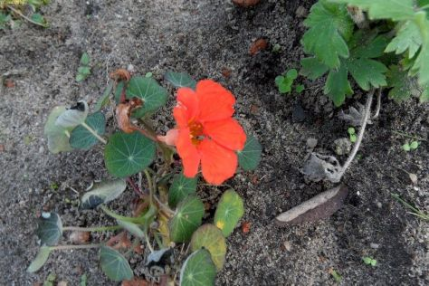 Rote Kapuzinerkresseblüte 44. Kalenderwoche 2014